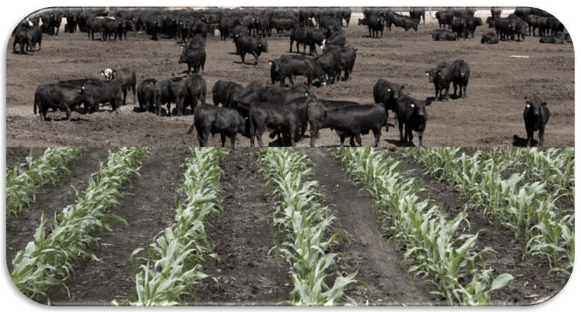 cattle and rows of corn