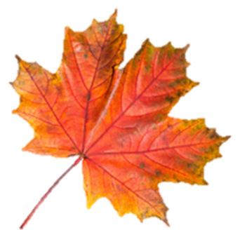 image of an autumn maple leaf